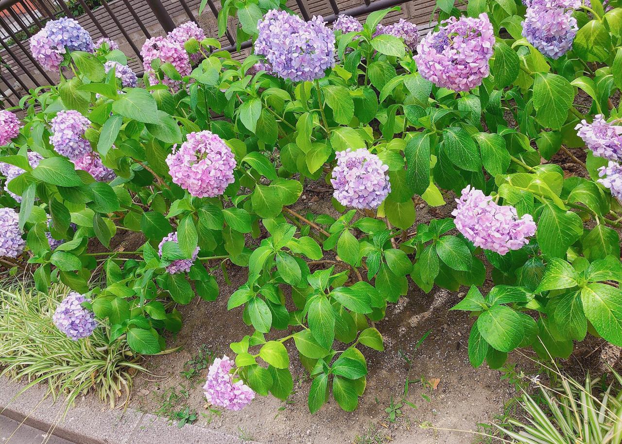 紫×ピンクの紫陽花♡